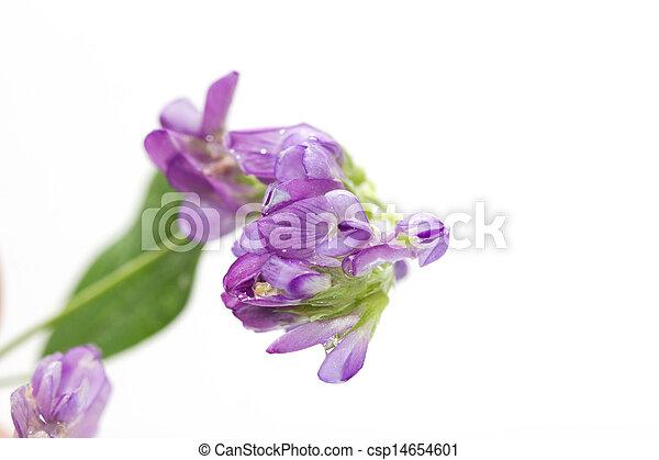 purple flower on a white background. macro - csp14654601