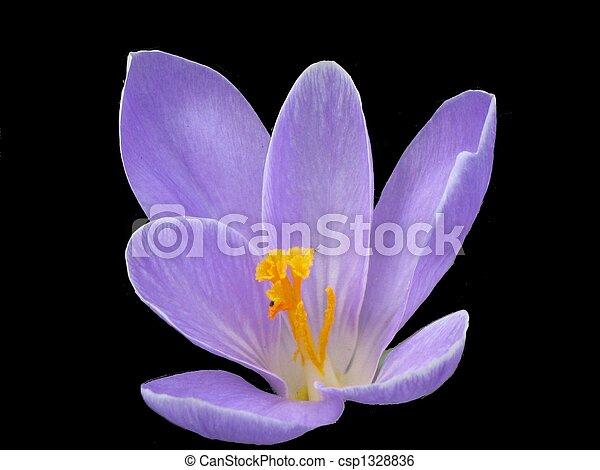 Purple Flower on Black Background - csp1328836
