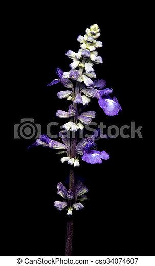 purple flower on black background - csp34074607