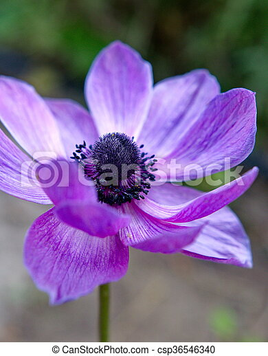 Purple flower - csp36546340