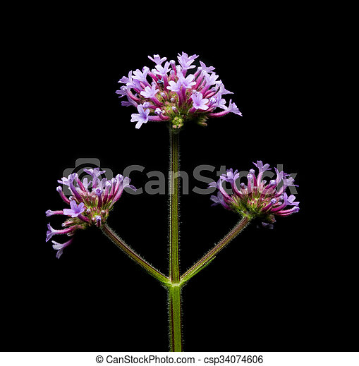 Purple flower with black background.  - csp34074606
