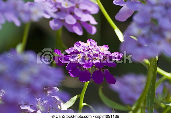 Purple flowers in the garden. - csp34091189
