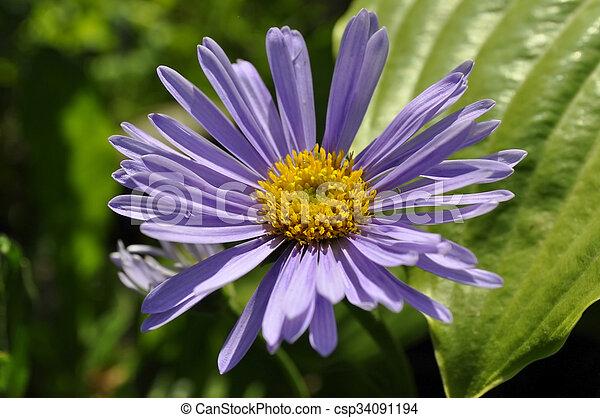 Purple flowers in the garden. - csp34091194