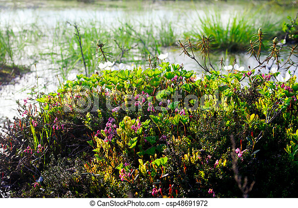 Purple flowers in the North, North grass, summer in the tundra - csp48691972