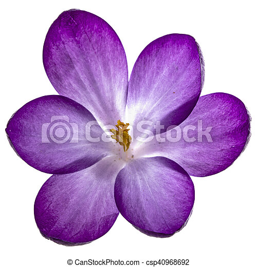 Purple Flowers Of Crocus Isolated On White Background