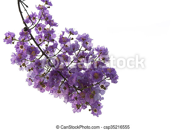 Purple flowers on a white background lagerstroemia loudonii purple flowers on a white background csp35216555 mightylinksfo
