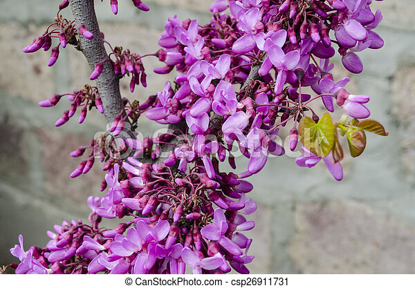 Purple Flowers On Judas Tree Spring Flowering Judas Tree Bright