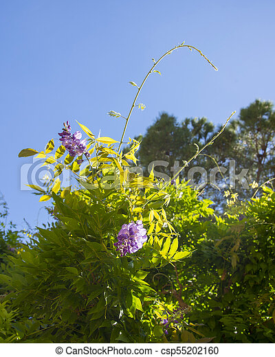 Purple Flowers On The Branch Of Acacia Tree