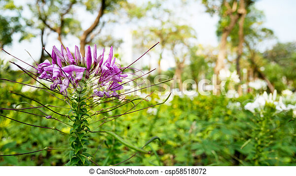 Purple flowers with green leaves in the garden - csp58518072