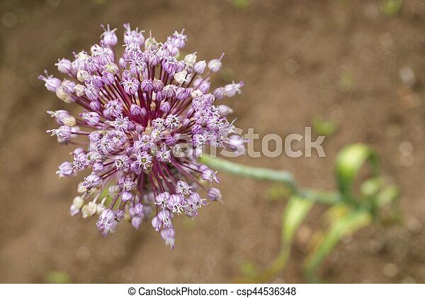 Purple garlic flower - csp44536348