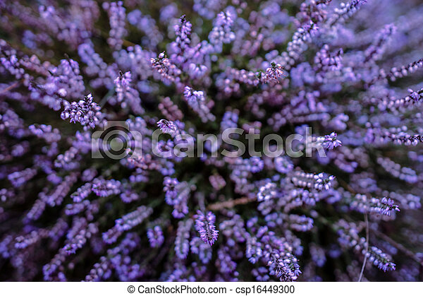 Purple heather - csp16449300