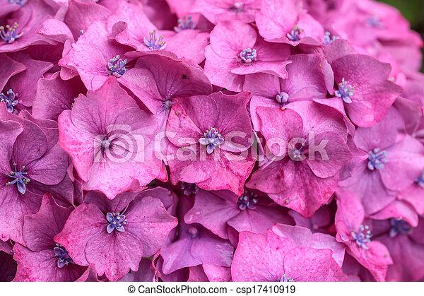 Purple hydrangea blossoms in the rain - csp17410919
