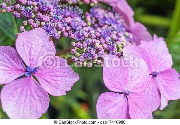 Purple hydrangea blossoms in the rain - csp17410980