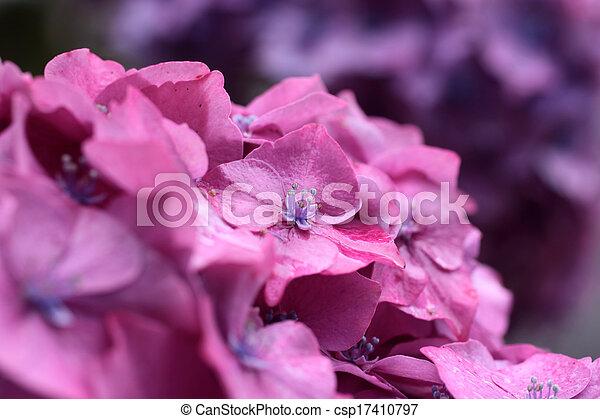 Purple hydrangea blossoms in the rain - csp17410797