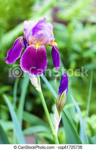 Purple Iris Cultivar Flower Closeup On Green Garden Background