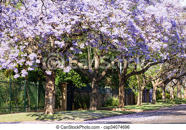 Purple jacaranda trees in full bloom - csp34074696