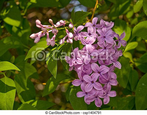 Purple Lilac Flowers 2 - csp1404791