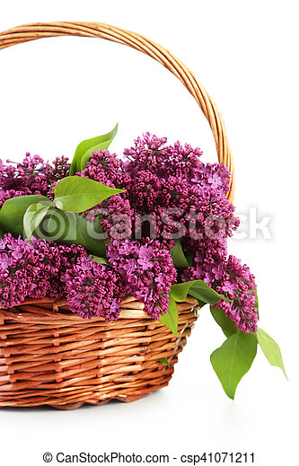 Purple lilac flowers in basket on white background - csp41071211