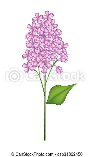 Purple Lilac or Syringa Vulgaris on White Background - csp31322450