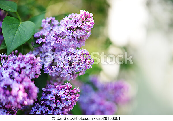 purple lilac  - csp28106661