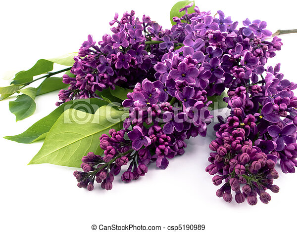 Purple lilac - csp5190989