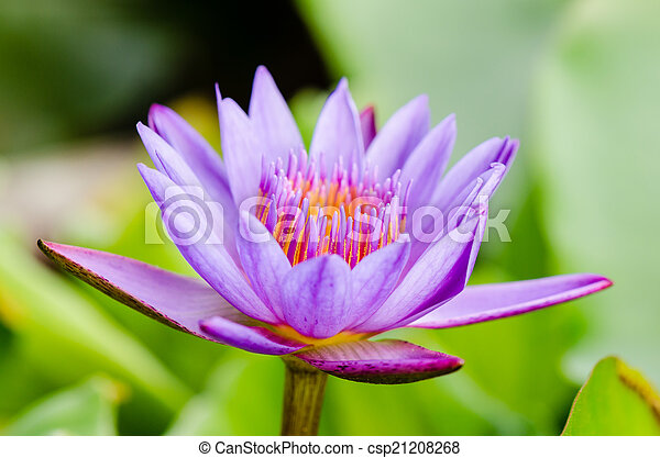 Purple Lotus flower ( Nymphaea Nouchali ) - csp21208268