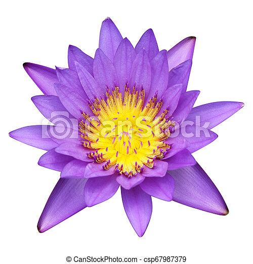 Purple lotus isolated on white background - csp67987379
