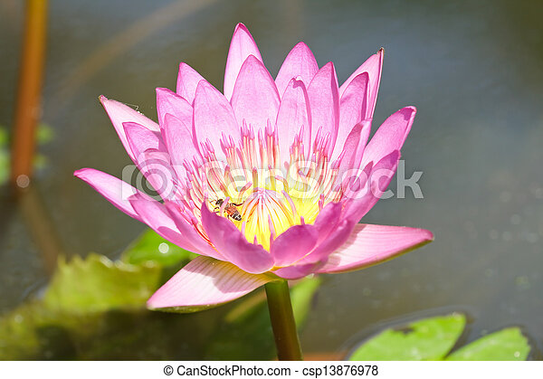 Purple lotus. - csp13876978