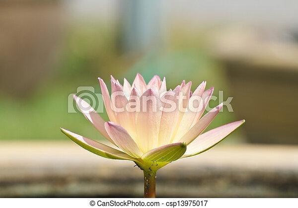 Purple lotus. - csp13975017