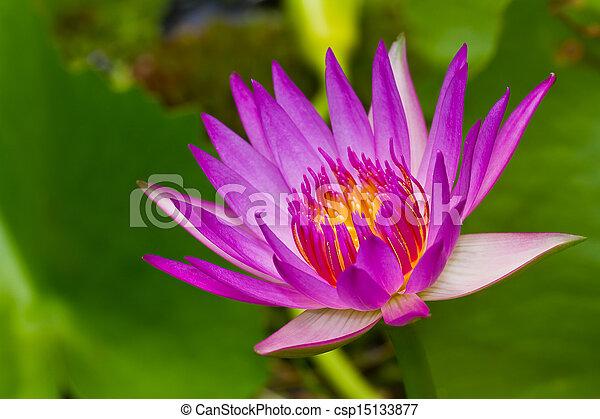 Purple lotus - csp15133877