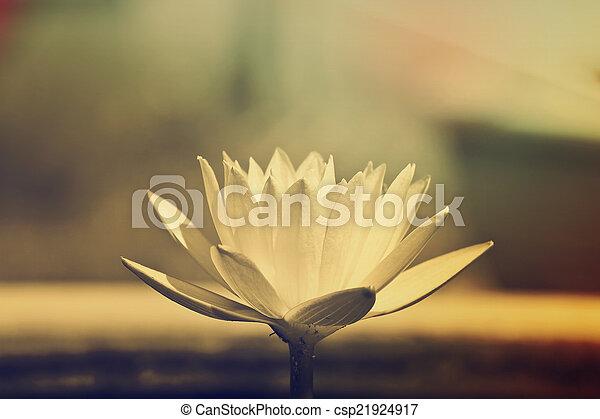 Purple lotus. - csp21924917