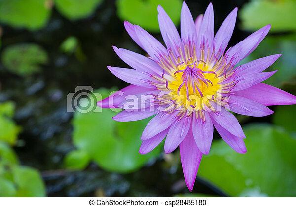 Purple lotus - csp28485180