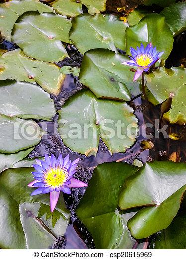 Purple Lotus - csp20615969