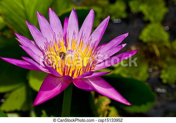 Purple lotus - csp15133952