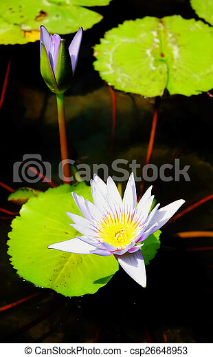 Purple Lotus - csp26648953