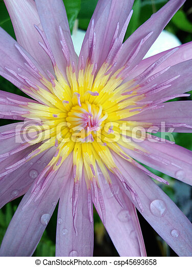 purple lotus - csp45693658