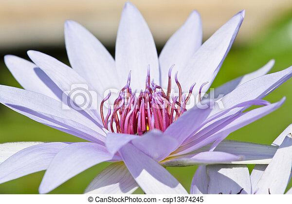 Purple lotus. - csp13874245