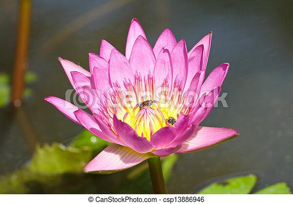Purple lotus. - csp13886946