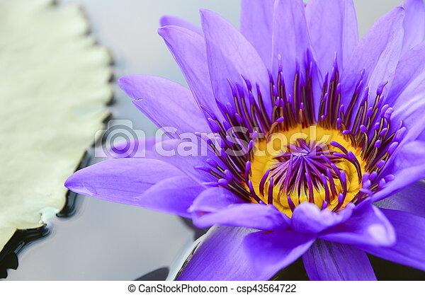 Purple lotus - csp43564722
