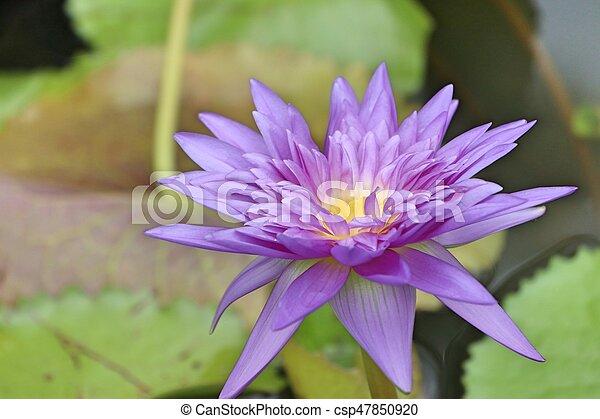 Purple lotus - csp47850920