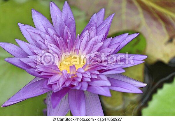Purple lotus - csp47850927