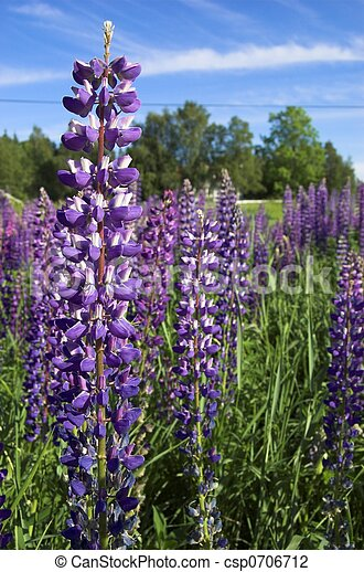 Purple Lupin - csp0706712