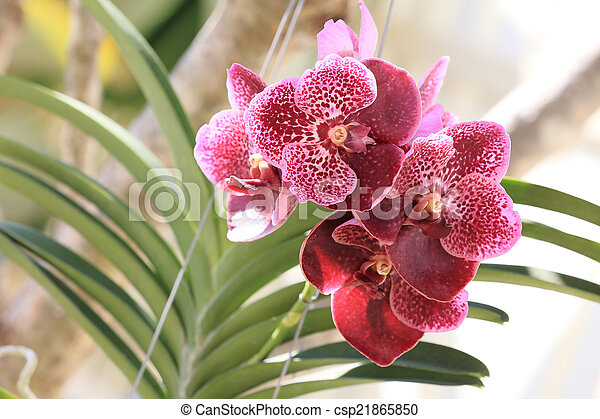 purple orchid flowers in garden - csp21865850