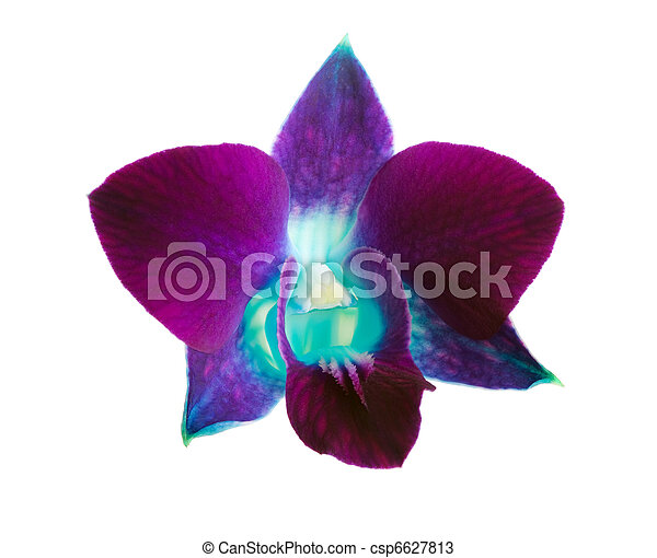 purple orchid - csp6627813