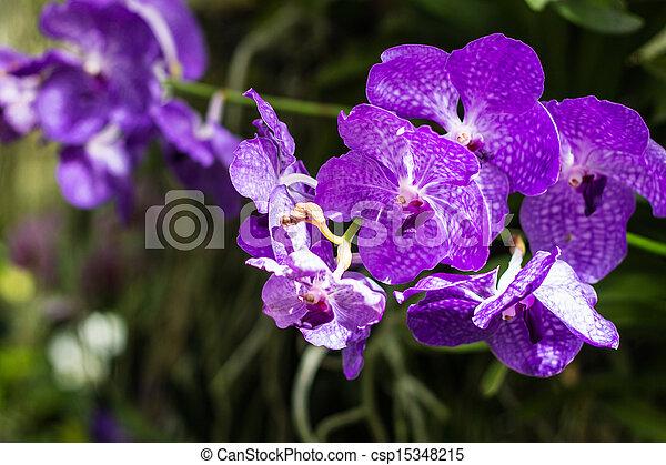Purple Orchids - csp15348215
