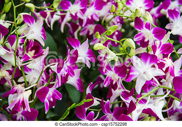 Purple orchids - csp15752298