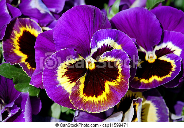 Purple Pansies Purple And Yellow Pansy Flowers