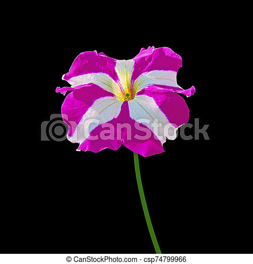 Purple petunia flower isolated on a black background - csp74799966