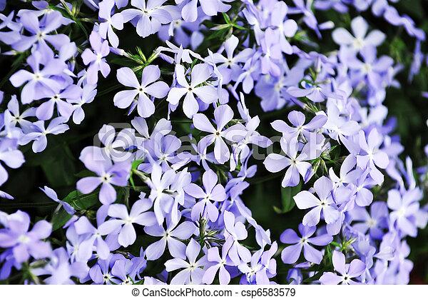 purple phlox subulata - csp6583579