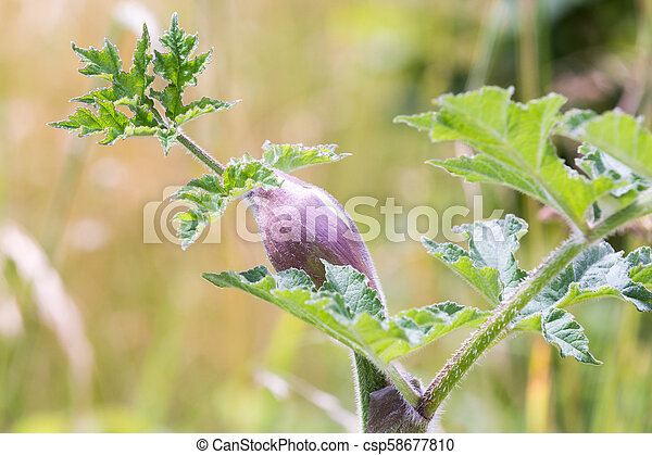 Purple plant with green leaves growing in the wild - csp58677810